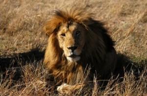 ver-leones-en-kenia-viaje-big-cat