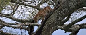 leopardo-descendiendo-de-una-acacia-en-el-parque-nacional-del-serengeti-en-un-viaje-a-tanzania