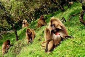 Geladas in the Siemen National Park