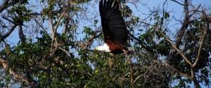 Fotografía de un Fish Eagle (Águila Pescadora) en pleno vuelo en el Delta del Okavango Botswana.