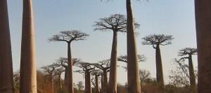 Paisaje de la famosa avenida de los baobabs en Madagascar
