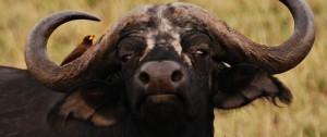 Búfalo con un Pica Bueyes en una de las reservas de África.