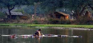 Hipopótamos en Lower Zambezi