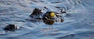 Fotografía de un Cocodrilo asomando parte de la cabeza en uno de los canales del delta del Okavango en Botswana, Africa.