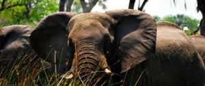 Manada de elefantes en el Delta Del Okavango.