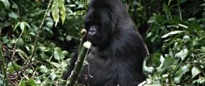 Gorila Lomo Plateado en el Parque Nacional de los volcanes en Ruanda