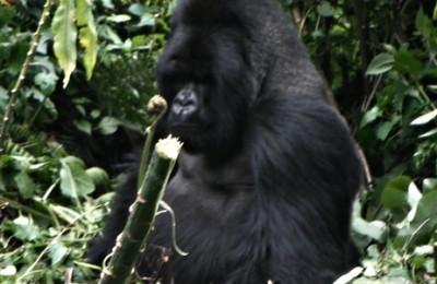 Gorilas de Ruanda y Tanzania