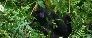 Imagen de una familia de gorilas con su cría en Uganda y Ruanda.
