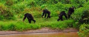Grupo de Chimpancés en Ol Pejeta Kenia