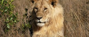 león tumbado en una de las reservas de África.