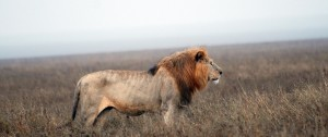 Fotografía de un león en un día de lluvia en el serengeti Tanzania.