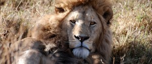 leon-tumbado-en-el-crater-del-ngorongoro-tanzania-africa
