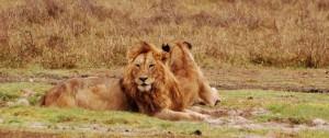 Pareja de leones descansando en una de las reservas de África.