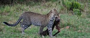 Leopardo con una  presa de  Facocero en Masai Mara - Serengeti