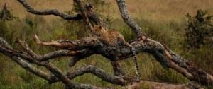 Leopardo descansando en una rama de un arbol caído.