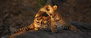 leopardo en  la reserva del masai mara en Kenia