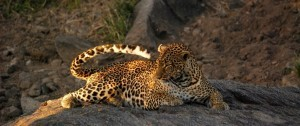 Impresionante leopardo tumbado en una roza cerca del río en el masai mara