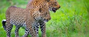 Pareja de leopardos en Zambia