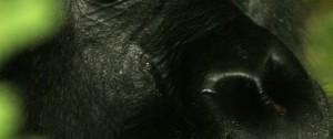 Rostro de uno de los animales más impresionantes de todo África el Gorila de Montaña o conocido tambien como Lomo plateado.