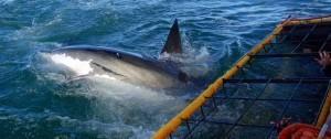 Buceo con jaula en la bahía de hermanus,  para ver al gran  tiburón Blanco en su habitat.