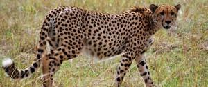 viaje-a-namibia-guepardo