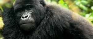 viajes-a-africa-gorila-de-montana