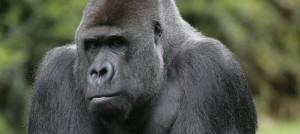 Gorille en captivité assis dans l'herbe