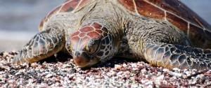 Tprtuga marina  en las islas Galápagos.