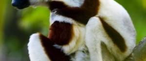 viajes-a-madagascar-lemur-sifaka-norte-de-madagascar