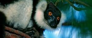 viajes-a-madagascar-parque-nacional-de-andasibe-lemur-indri-indri