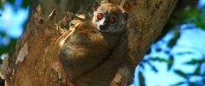 viajes-a-madagascar-parque-nacional-montana-de-ambre-lemur-microcebe