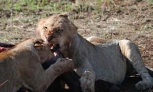 leones-jovenes-en-plena-comida-despues-de-una-caceria--en-africa