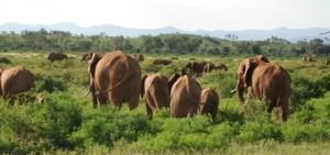 manada-de-elefantes--viajes-a-kenia