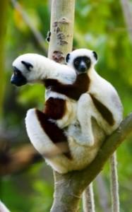 viajes-a-madagascar-lemur-sifaka---norte-de-madagascar