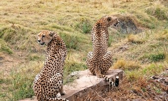 viajes-a-namibia-guepardos