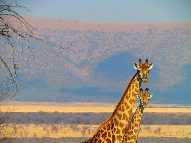 Jirafas en Sudáfrica