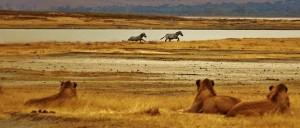 Leones observando cebras en el Serengeti