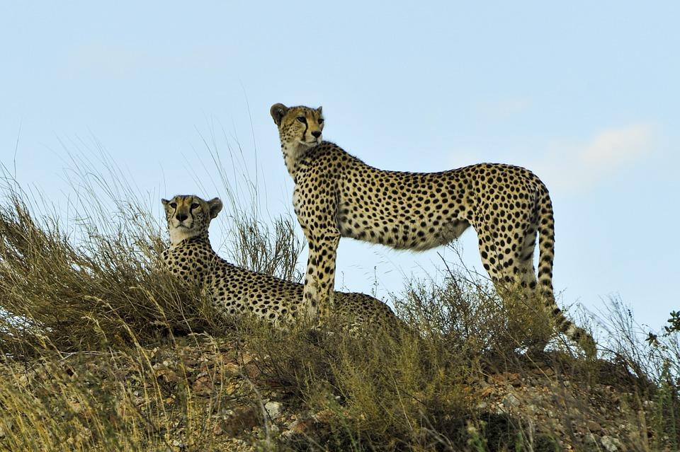 cheetahs-802897_960_720