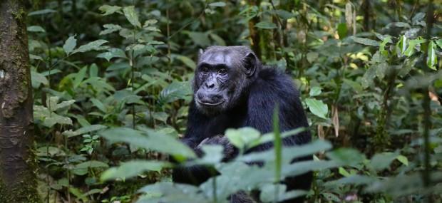 chimpance del este
