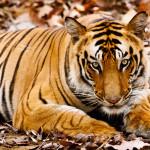 Tigre en Ranthambore India