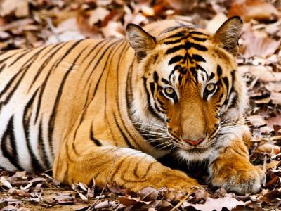 En busca del tigre