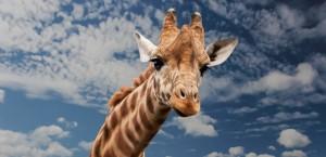 safari en áfrica jirafa
