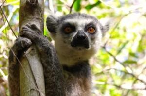 viajes-madagascar-lemures-300x198