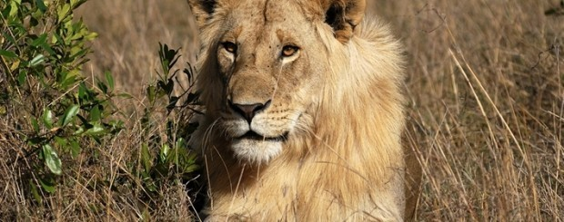 León en la sabana africana en Kenia