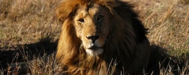 León en Kenia (África)