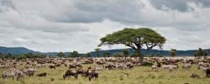 ver-migracion-de-nus-y-de-cebras-Kenia