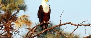 Fish eagle (Aguila Pescadora) posada en una rama en unos de los canales del Delta del Okavango en Botswana.