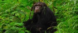 Chimpacés en el parque nacional de Ol Pejeta en Kenia