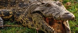 Cocodrilo con la boca abierta en una de las reservas de África.