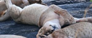 crias-de-leon-descansando-despues-de-un-buen-atracon-de-comida